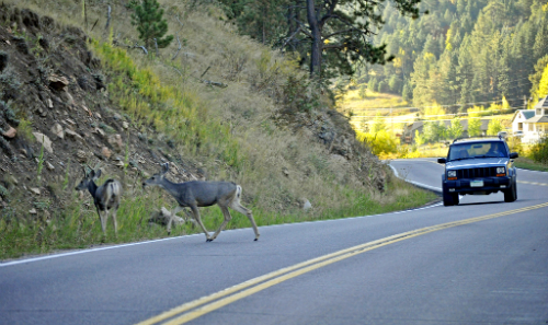 2 deer crossing road in front of car
