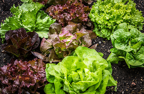 heads of various types of lettuce